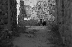 sheep roam the island of Delos