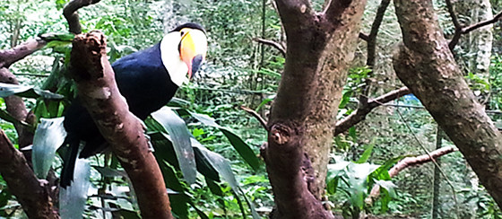 Toucan at the Guira Oga refuge in Puerto Iguazú, Argentina