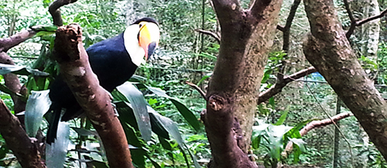 Toucan at the Guira Oga refuge in Puerto Iguazú, Argentina