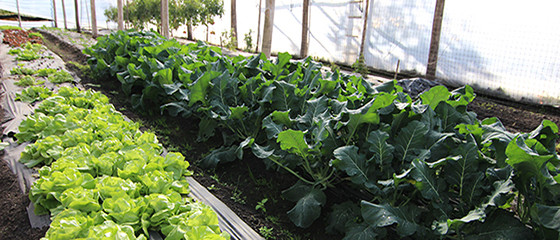 Greenhouse interior with vegetables growing, near Atlántida, Uruguay